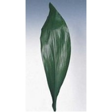 Aspidistra Green