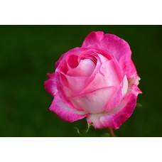 Bi-Coloured Roses 40 cm Pink $1.95 per stem