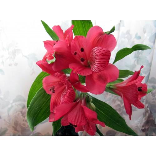 Alstroemeria Red
