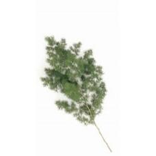 Asparagus Ming