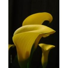 Calla Lily Yellow