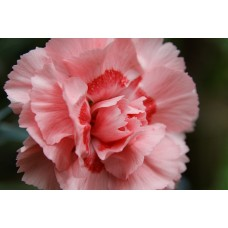 Carnation Light Pink Fancy