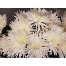 Chrysanthemum Single Spider Anastasia White