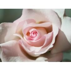 40 cm Roses Nena Pink $1.95 per stem