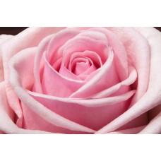 40 cm - Light Pink Roses $1.95 per stem