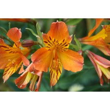 Alstroemeria Orange