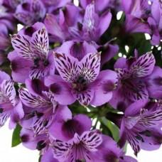 Alstroemeria Lavender