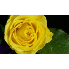 40 cm Yellow Roses  $1.95 per stem
