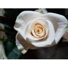 40 cm White Roses - Vendela  $1.95 per stem