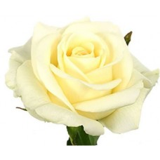 40 cm Rose White