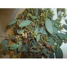 Eucalyptus Seeded Cupped