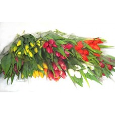 Tulip Assorted