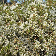 Waxflower White