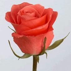 40 cm Rose Dorit