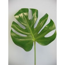 Monstera Leaves Small