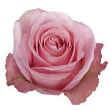 40 cm Rose Hermosa $1.95 per stem