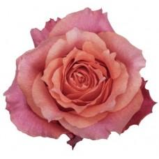 40 cm Rose Natures Cherry cm $1.95 per stem