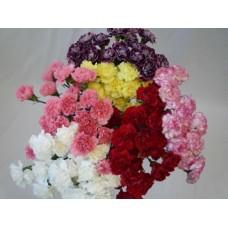 Carnation Assorted Fancy
