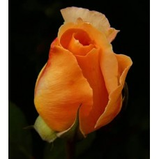 Rose Orange Crush