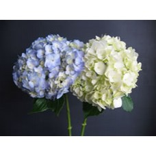 Blue and White Hydrangea Medium