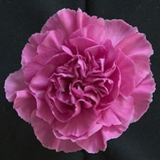 Carnation Lavender Fancy