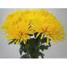 Chrysanthemum Single Spider Anastasia Yellow
