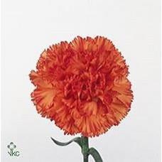 Carnation Orange Fancy 55cm