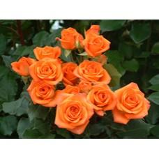 Rose Spray Babe - Orange