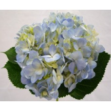 Hydrangea Medium Blue