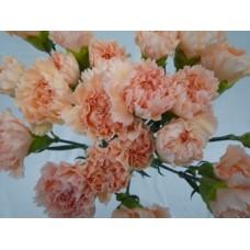 Carnation Peach Select