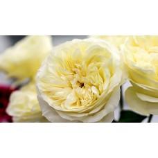 40 cm Garden Roses White
