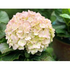 Hydrangea Flowers Light Pink