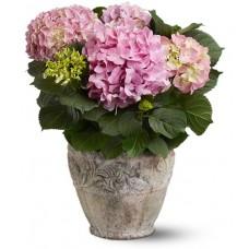 Live Hydrangea Plant