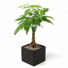 Money Tree in Black Container by Ella Florist