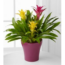 Bromeliad Indoor Plants