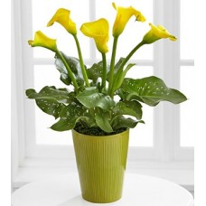 Calla Lily Plant by Florist