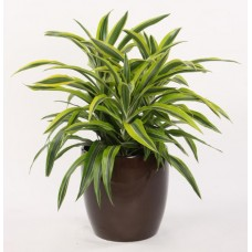 Dracaena Lemon Lime - Indoor Plant