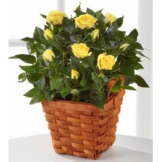 Yellowish Mini Roses - Plant