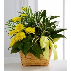 Chrysanthemum Flowering plant - Gift Basket