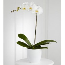 White (Cream) Phalaenopsis Orchids
