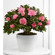 Blooming Indoor Azalea Plant