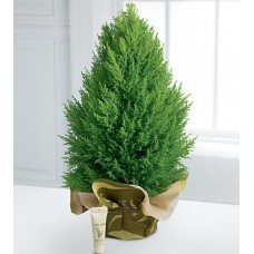 Christmas Lemon Cypress