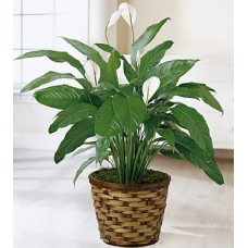 Best Wishes Peace Lily