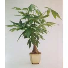 Indoor Money Tree Plant by Flower Shop
