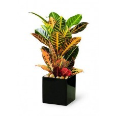 Croton Plant for Offices