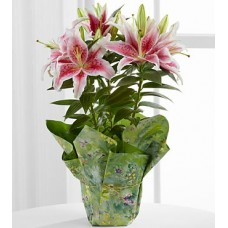 Stargazer Lily Plants