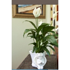 Peace Lily in Angel Cachepot