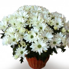 Memorial Daisy Chrysanthemum