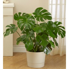 Birthday Philodendron Plants