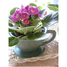 African Violet In Teacup